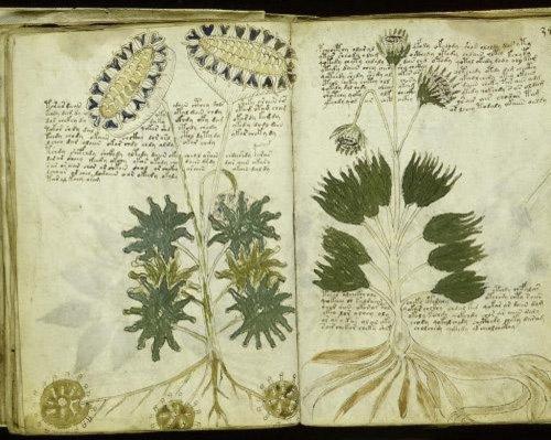 voynich botanical