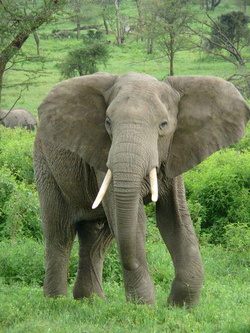 640px-Elephant_near_ndutu